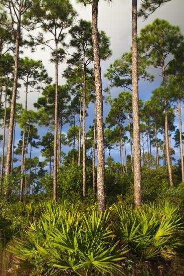 Pine Forest in Long Pine Area of Everglades NP-Terry Eggers-Photographic Print