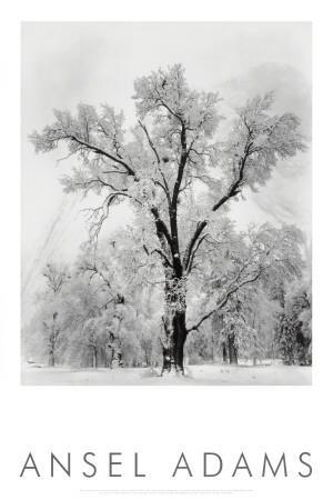 Pine Forest in Snow, Yosemite National Park, 1932-Ansel Adams-Art Print