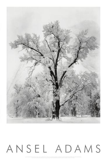 Pine Forest in Snow, Yosemite National Park, 1932-Ansel Adams-Art Print