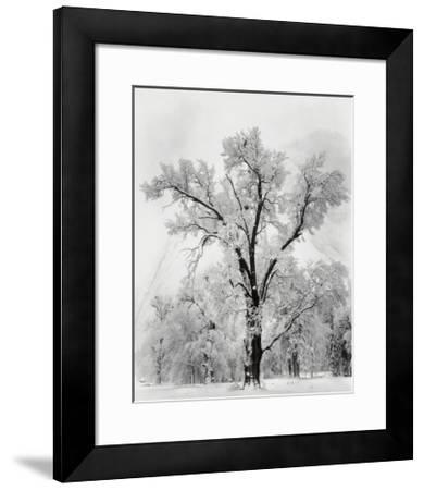 Pine Forest in Snow, Yosemite National Park, 1932-Ansel Adams-Framed Art Print