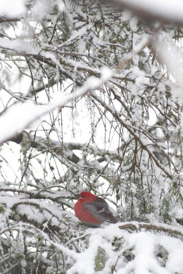 Pine Grosbeak on Snowy Branch Winter Sc Alaska-Design Pics Inc-Photographic Print