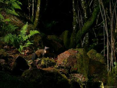 Pine Marten at Night, the Highlands, Inverness-Shire-Elliot Neep-Photographic Print