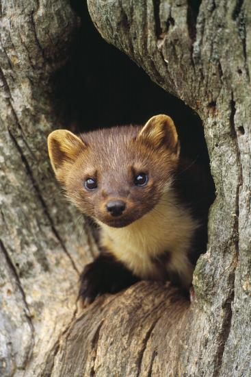 Pine Marten in Hole in Tree--Photographic Print