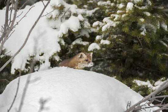 Pine Marten (Martes Martes), Montana, United States of America, North America-Janette Hil-Photographic Print