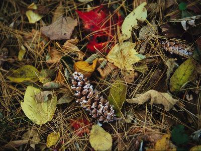 https://imgc.artprintimages.com/img/print/pine-needles-and-cones-and-autumn-leaves-along-the-appalachian-trail_u-l-p3qv7b0.jpg?p=0