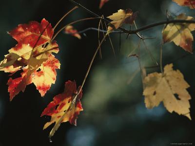 Pine Needles Caught on an Autumn-Colored Maple Leaf-Raymond Gehman-Photographic Print