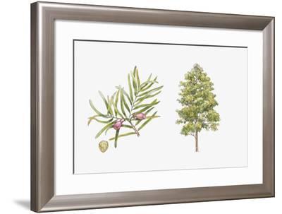 Pine (Podocarpus Gaussenii) Plant, Leaf and Seed--Framed Giclee Print