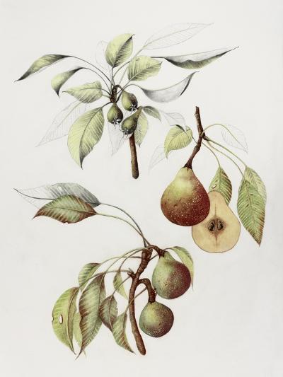Pine Street Pears-Deborah Kopka-Giclee Print