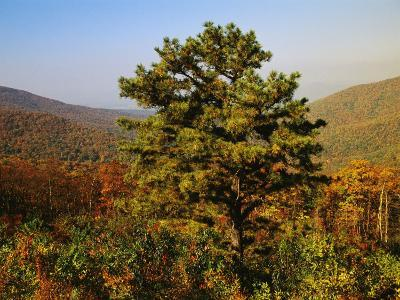 Pine Tree and Forested Ridges of the Blue Ridge Mountains-Raymond Gehman-Photographic Print