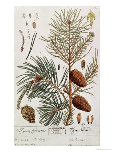 Pine Tree, from A Curious Herbal, Published in Nuremburg in 1757-Elizabeth Blackwell-Giclee Print