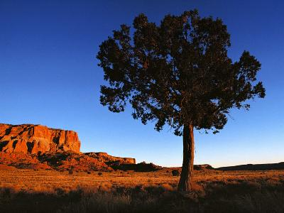 Pine Tree in Barren Land, New Mexico-Brimberg & Coulson-Photographic Print