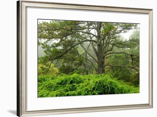 Pine Trees and Weeping Hemlock in a Foggy Landscape-Darlyne A. Murawski-Framed Photographic Print