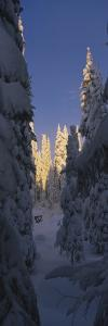 Pine Trees Covered with Snow on a Polar Landscape, Alvdalen, Dalarna, Sweden