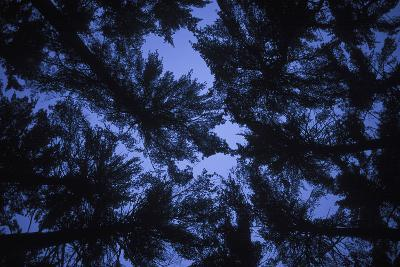 Pine Trees, Seen from Below-Rebecca Hale-Photographic Print