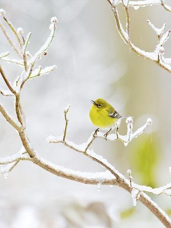 https://imgc.artprintimages.com/img/print/pine-warbler-perching-on-branch-in-winter-mcleansville-north-carolina-usa_u-l-pzpgsj0.jpg?p=0