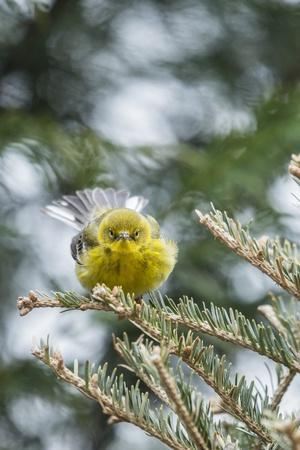 Pine Warbler-Gary Carter-Photographic Print