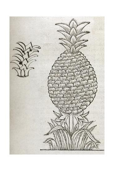 Pineapple, 16th Century Artwork-Middle Temple Library-Giclee Print