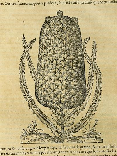 Pineapple (Ananas Comosus) , 1575-Andre Thevet-Giclee Print