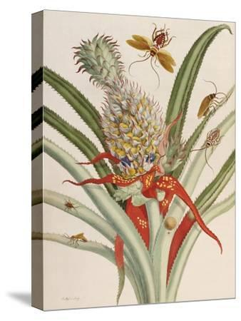 Pineapple (Ananas) with Surinam Insects-Maria Sibylla Merian-Stretched Canvas Print