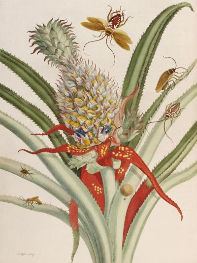 Pineapple (Ananas) with Surinam Insects-Maria Sibylla Merian-Giclee Print