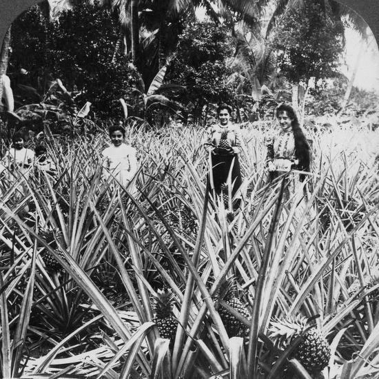 Pineapple Fields, Mayaguez, Puerto Rico-Underwood & Underwood-Photographic Print