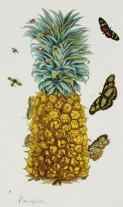 Pineapple Illustration from the Little Book of Wonders of the Tropics