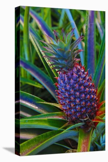 Pineapple, Melanesia, Fiji-Douglas Peebles-Stretched Canvas Print