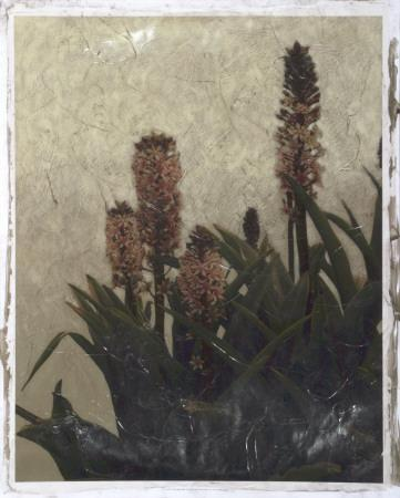 https://imgc.artprintimages.com/img/print/pineapple-plant-i_u-l-f4ewqy0.jpg?p=0