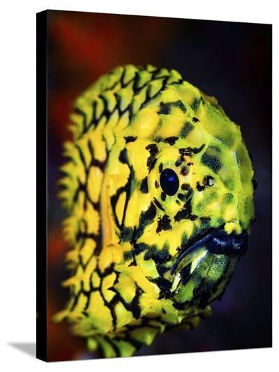 Pineconefish-Barathieu Gabriel-Stretched Canvas Print