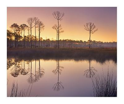 Pineland at Piney Point near Hagen's Cove, Florida-Tim Fitzharris-Art Print