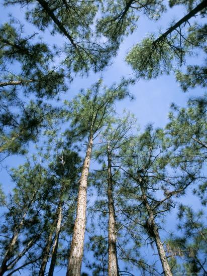 Pines and Sky, Mountain Pine Ridge, Belize, Cental America-Upperhall-Photographic Print