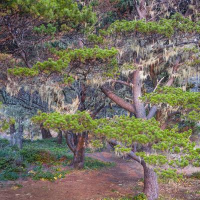 Pines with Hanging Lichens, Pacific Coast, Brookings, Curry County, Oregon, Usa--Photographic Print