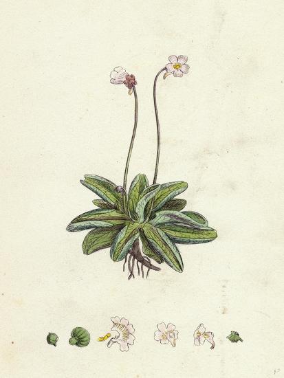Pinguicula Lusitanica Pale Butterwort--Giclee Print