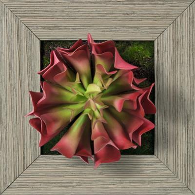 Pink Aeonium Square - Farmhouse Gray