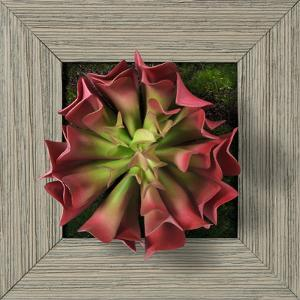 Pink Aeonium Square - Farmhouse Gray