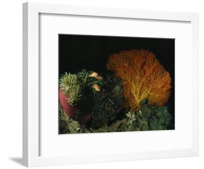 Pink Amemonefish Swimming Around an Anemone and Sea Fan-Wolcott Henry-Framed Photographic Print