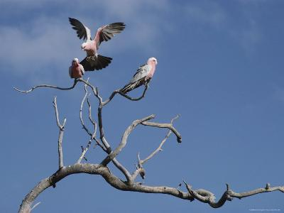 Pink and Gray Galah Cockatoos-Sam Abell-Photographic Print