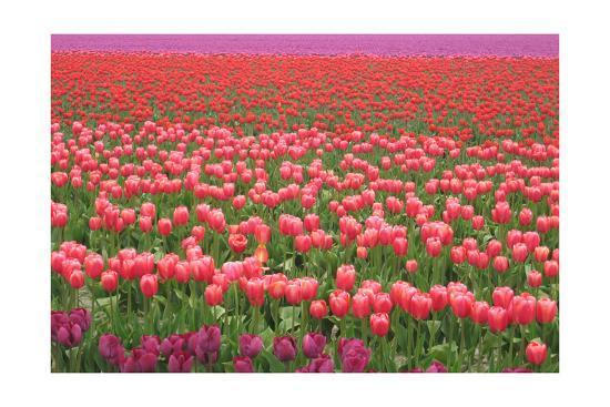Pink and Purple Tulip Field-Lantern Press-Art Print
