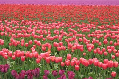 https://imgc.artprintimages.com/img/print/pink-and-purple-tulip-field_u-l-q1gqgnn0.jpg?p=0
