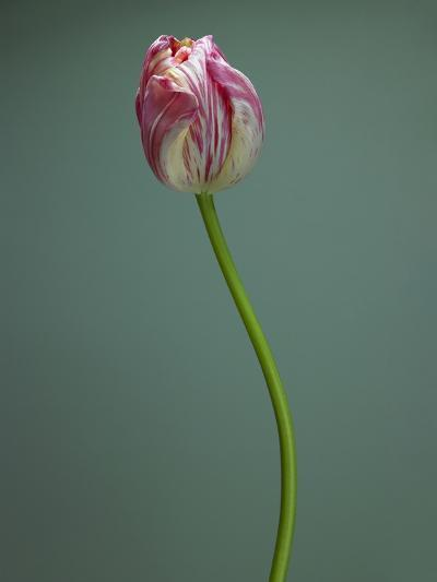 Pink and white tulip--Photographic Print