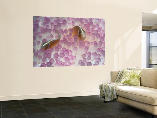 Pink Anemone Fish-Robert Halstead-Wall Mural