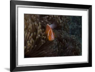 Pink Anemonefish in its Host Anenome, Fiji-Stocktrek Images-Framed Photographic Print