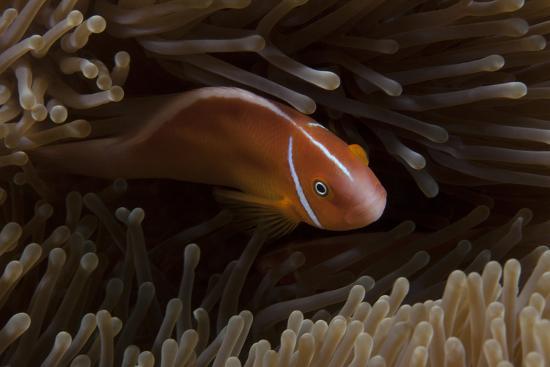 Pink Anemonefish in its Host Anenome, Fiji-Stocktrek Images-Photographic Print