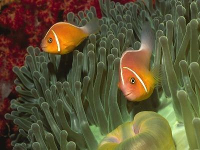 Pink Anemonefish in Magnificant Sea Anemone-Hal Beral-Photographic Print