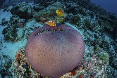 Pink Anemonefish Swim Close to their Host Anemone-Stocktrek Images-Photographic Print