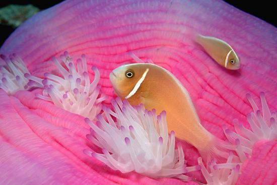 Pink Anemonefishes in a Sea Anemone (Amphiprion Perideraion), Pacific Ocean.-Reinhard Dirscherl-Photographic Print