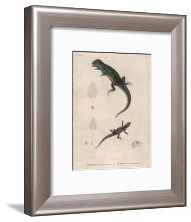 Pink-Bellied Leaf Lizard and Another Smaller Lizard Type Labelled as Trachycyclus Marmoratus--Framed Giclee Print