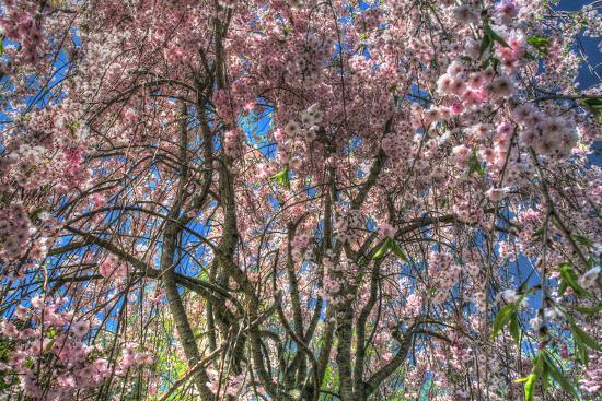 Pink Blossom Trees-Robert Goldwitz-Photographic Print