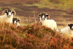 Four Curious Black Face Sheep in the Cairngorms, Scotland by pink candy