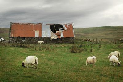 Sheep and Old Barn